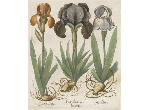 orris root is the rhizome of certain irises
