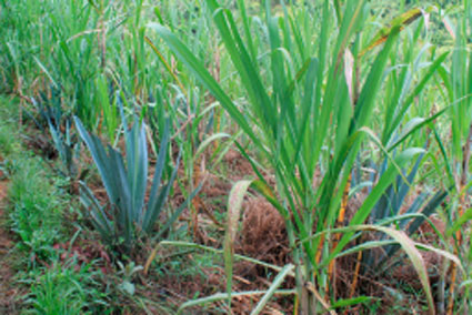 Young sugar cane and agave